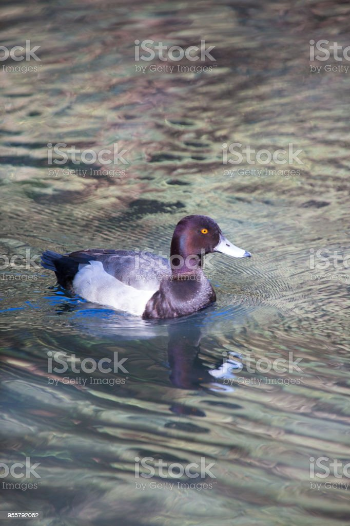 Duck swimming in pond stock photo