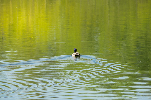 Duck swimming in the blue lake