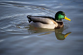 Duck swimming in the river