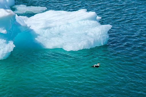 Duck swims beside an iceberg in the Jokulsarlon Glacier Lagoon in Iceland