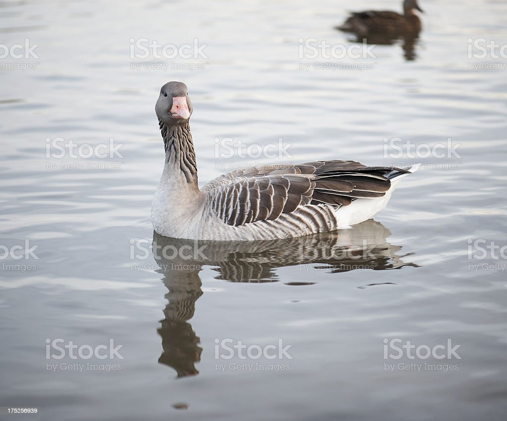 Duck swimming royalty-free stock photo