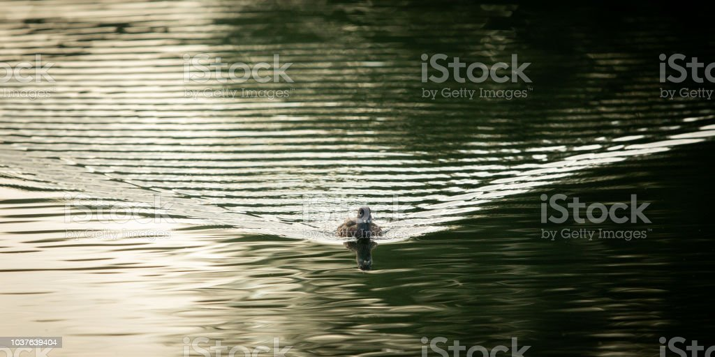 Duck swimming towards the camera with ripples behind. stock photo