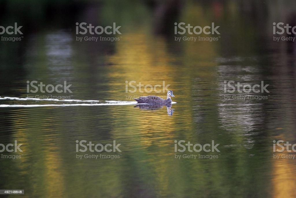 Ente schwimmt in bunten lake-Teich – Foto
