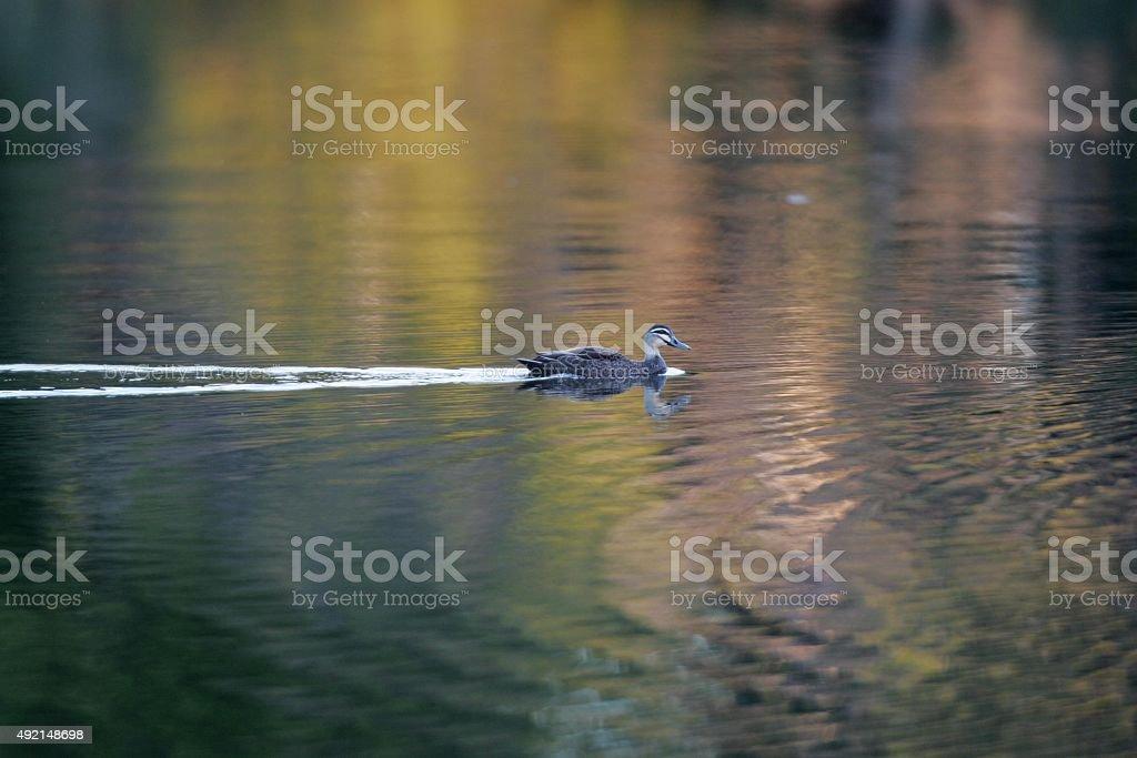 Ente Schwimmen im Teich – Foto