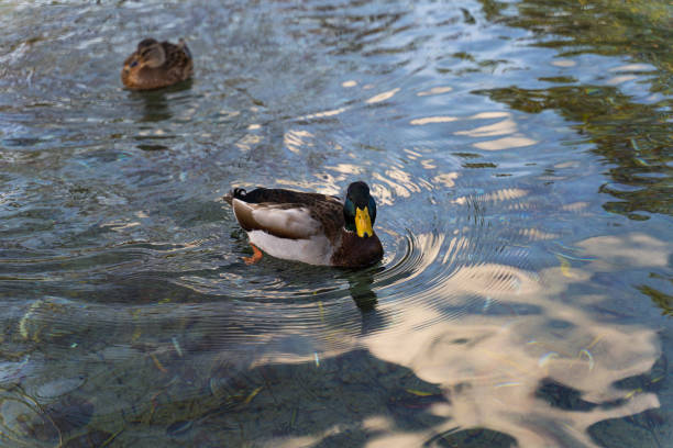 Duck swims in the water at sunset stock photo