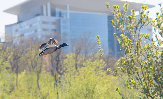 duck takes off in the city Park