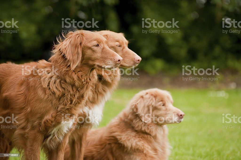 duck tolling retrievers royalty-free stock photo