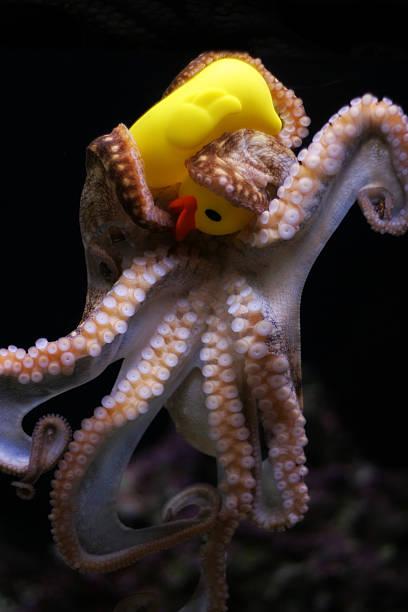 Duck Vs Octopuss stock photo