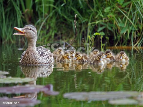 istock duck with chicks 463681857