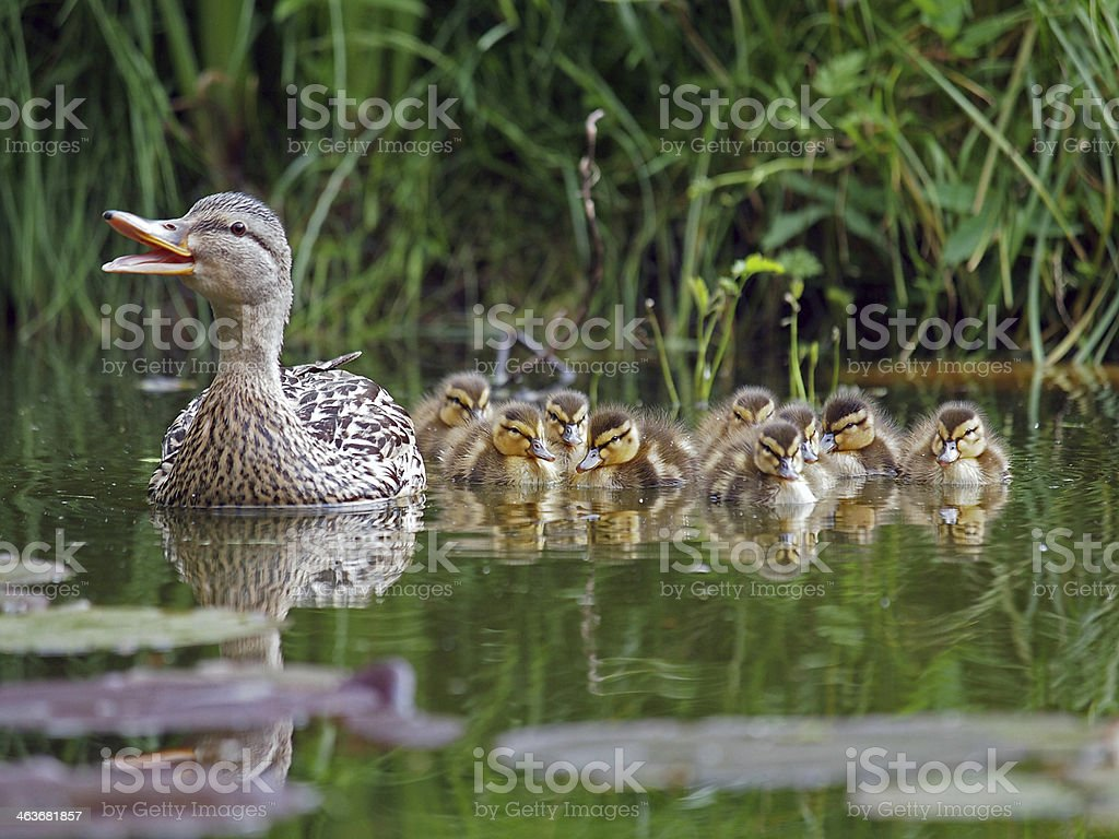 duck with chicks stock photo
