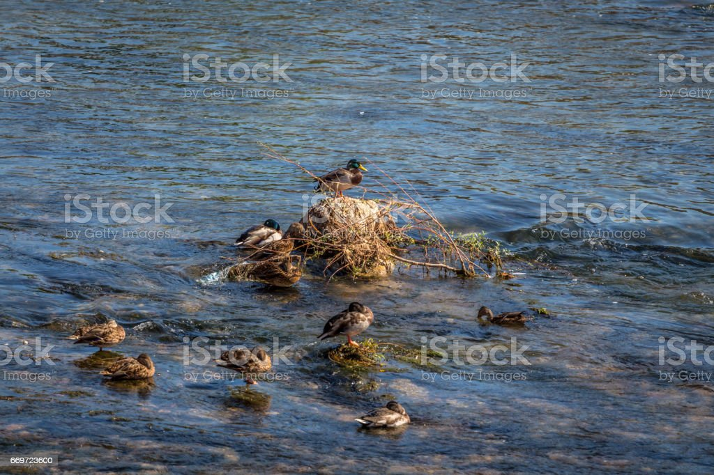 Duck with ducklings in the water stock photo