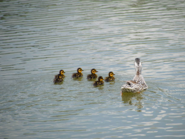 A duck with ducklings is swimming in a pond. Ducks swimming in the pond. Wild mallard duck. Drakes and females - foto stock