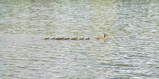 duck with ducklings on pond - hair line surface stock photos and pictures