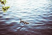 bird, duck, family, river,