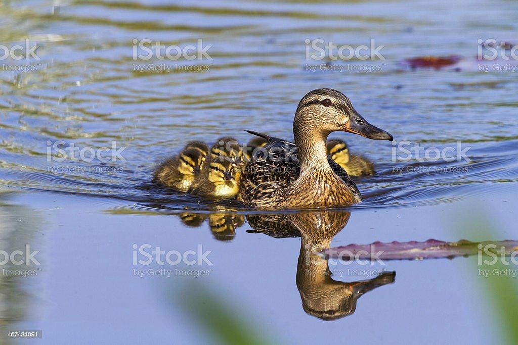 Anatra con ducklings - foto stock