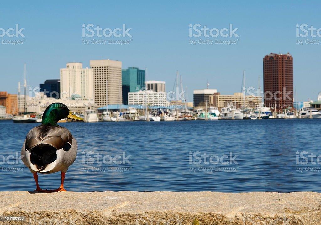 Duck  with Norfolk Skyline in Background stock photo