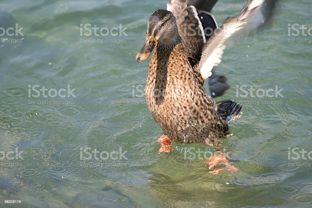 Duck with outstretched wings royalty-free stock photo