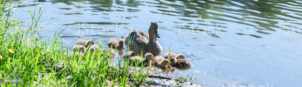 Duck with small ducklings in the pond on a sunny summer day royalty-free stock photo