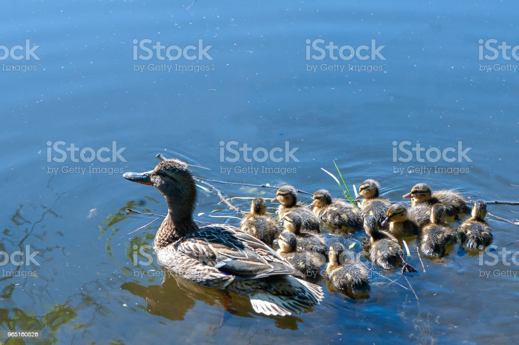 Duck with small ducklings in the pond on a sunny summer day zbiór zdjęć royalty-free
