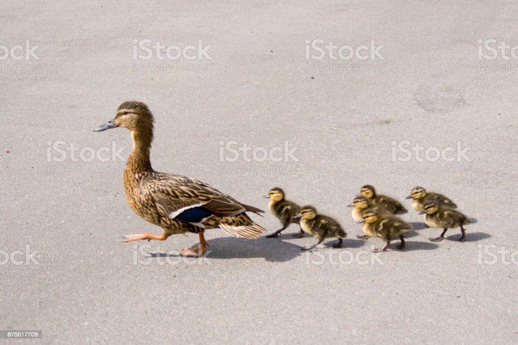 Duck with small ducklings on the street stock photo