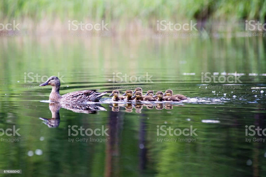 duck with the ducklings first time in the water stock photo