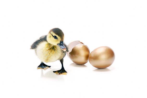 Entenküken und goldene Ei – Foto