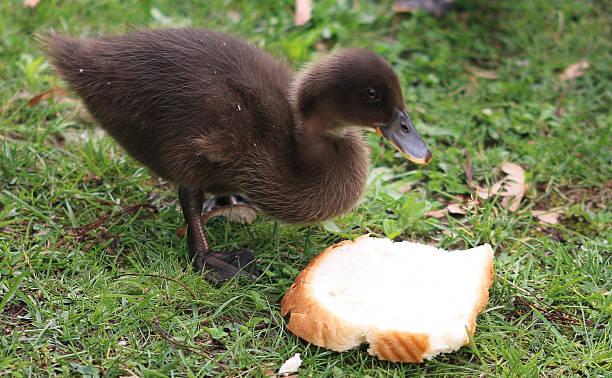 Should I feed bread to ducks?