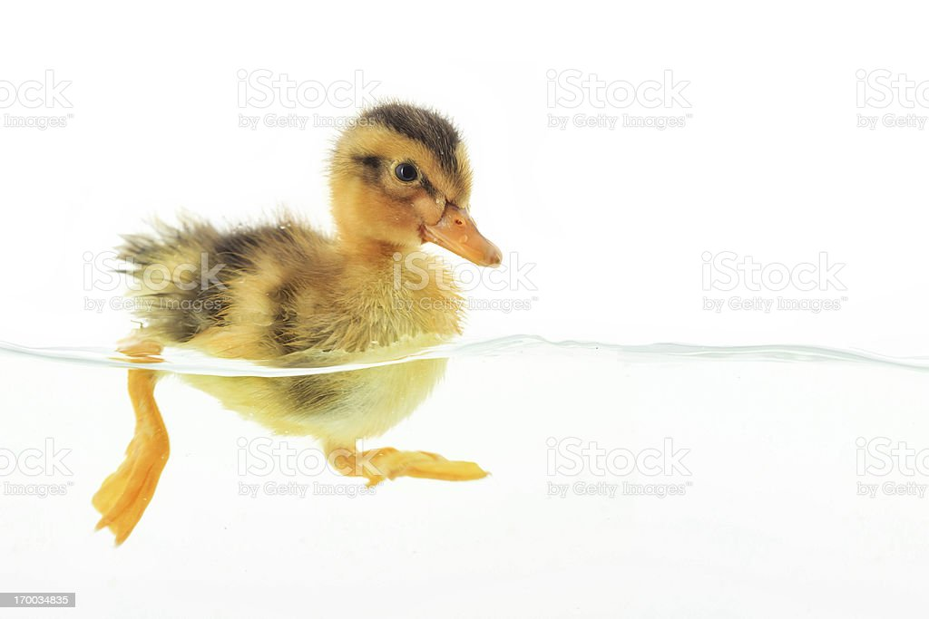 Duckling floating on water stock photo