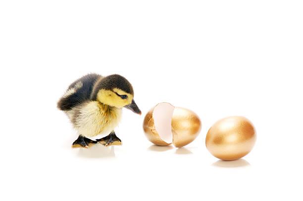 Entenküken suchen Sie im golden eggs – Foto