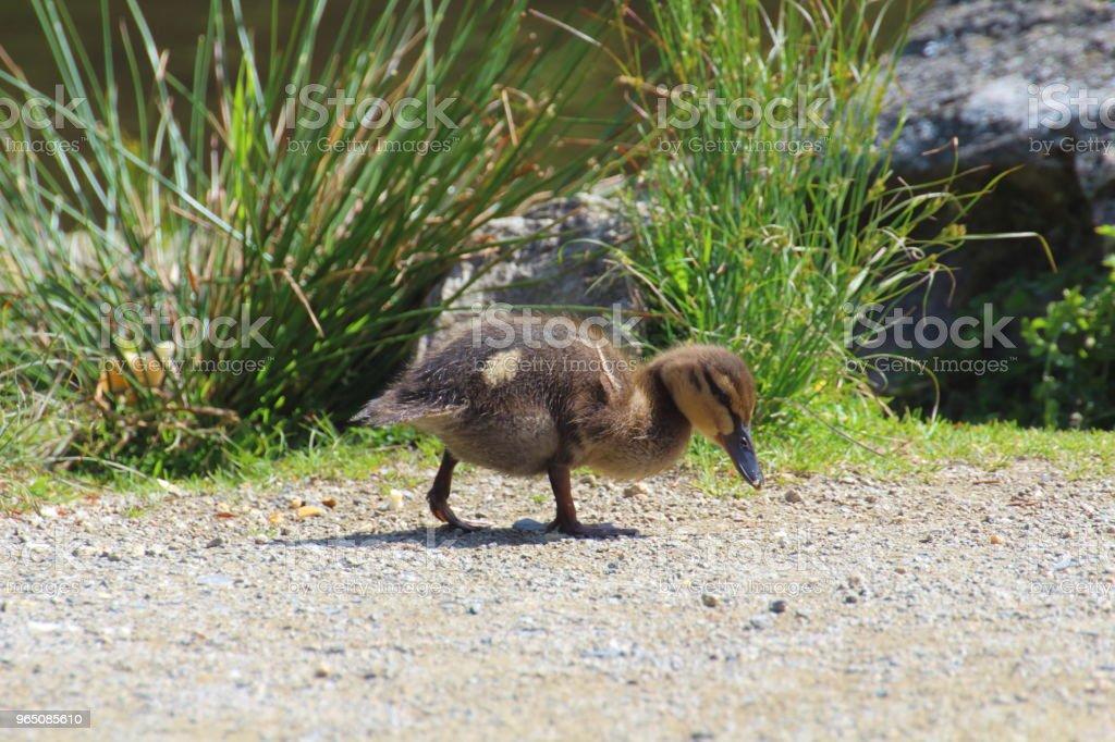 Duckling on the bank of a river zbiór zdjęć royalty-free