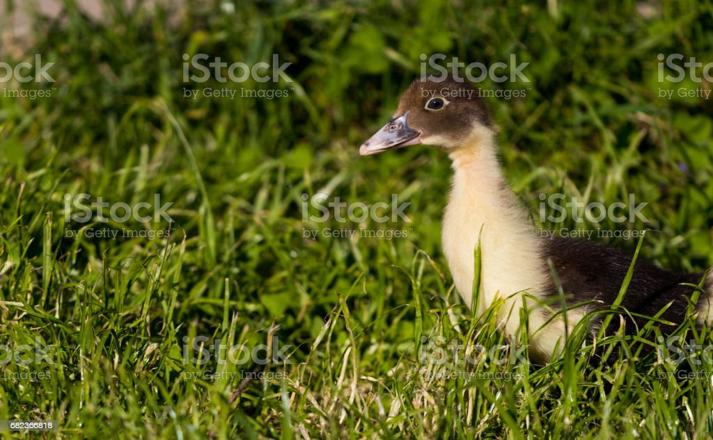 Duckling royalty free stockfoto