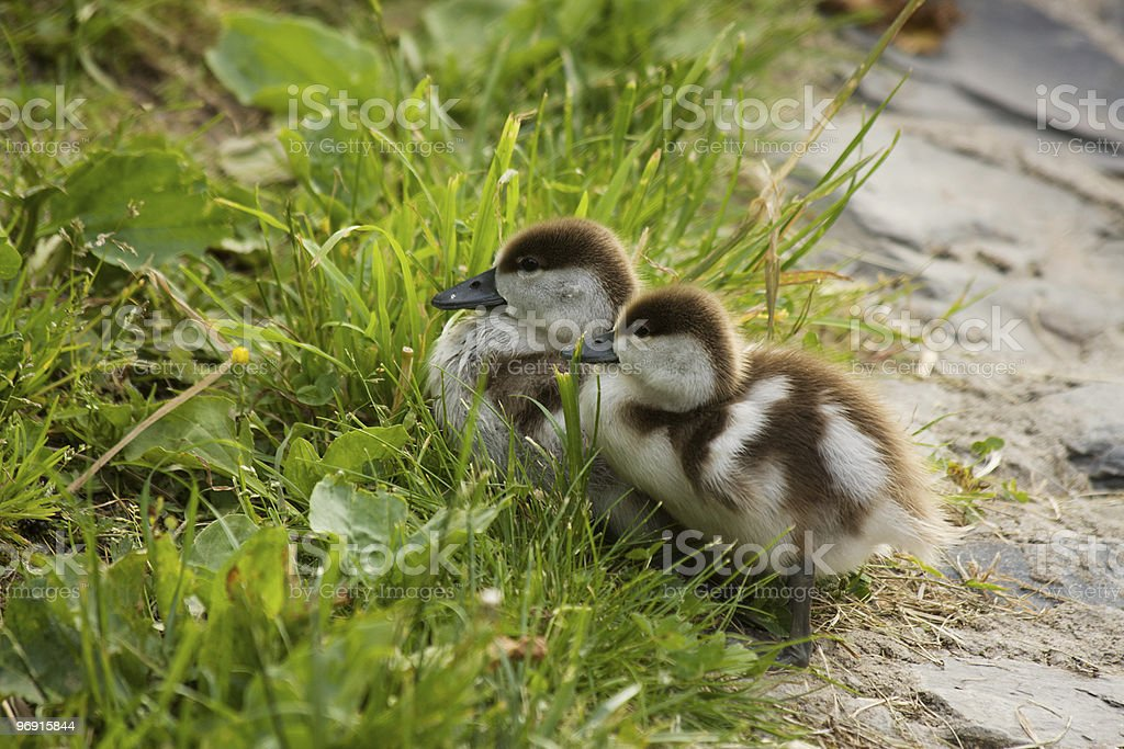 Duckling royalty-free stock photo