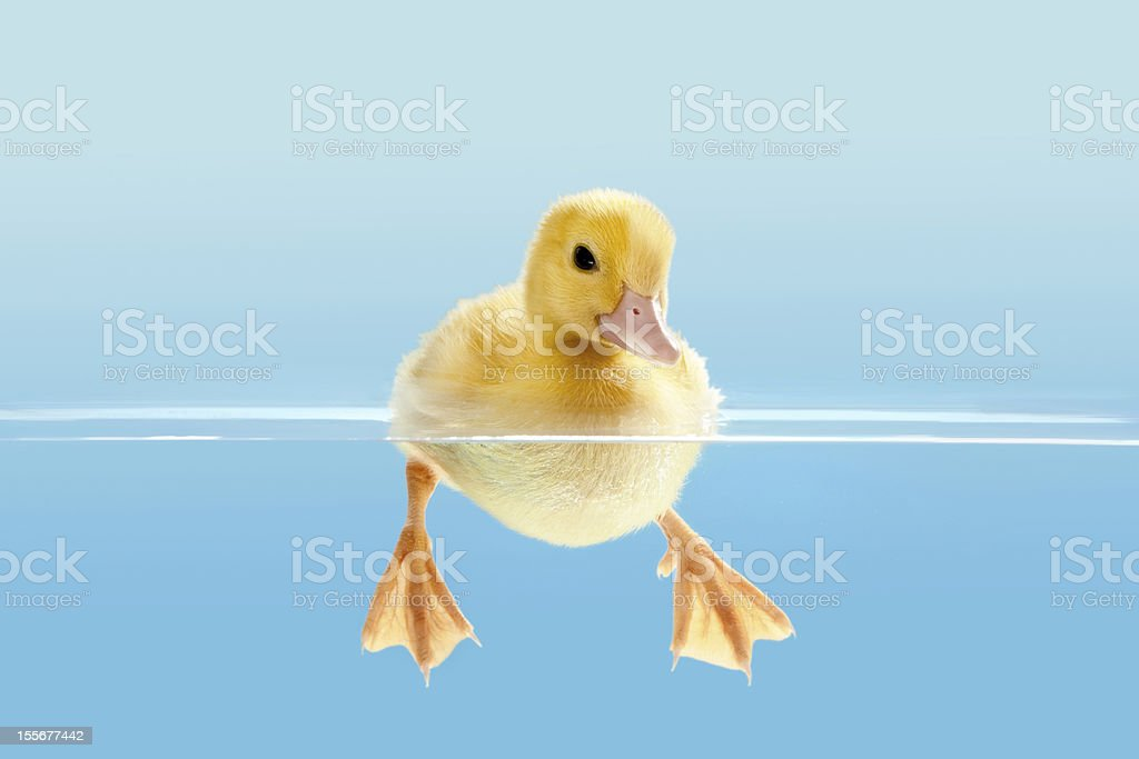 Duckling swimming for the first time stock photo