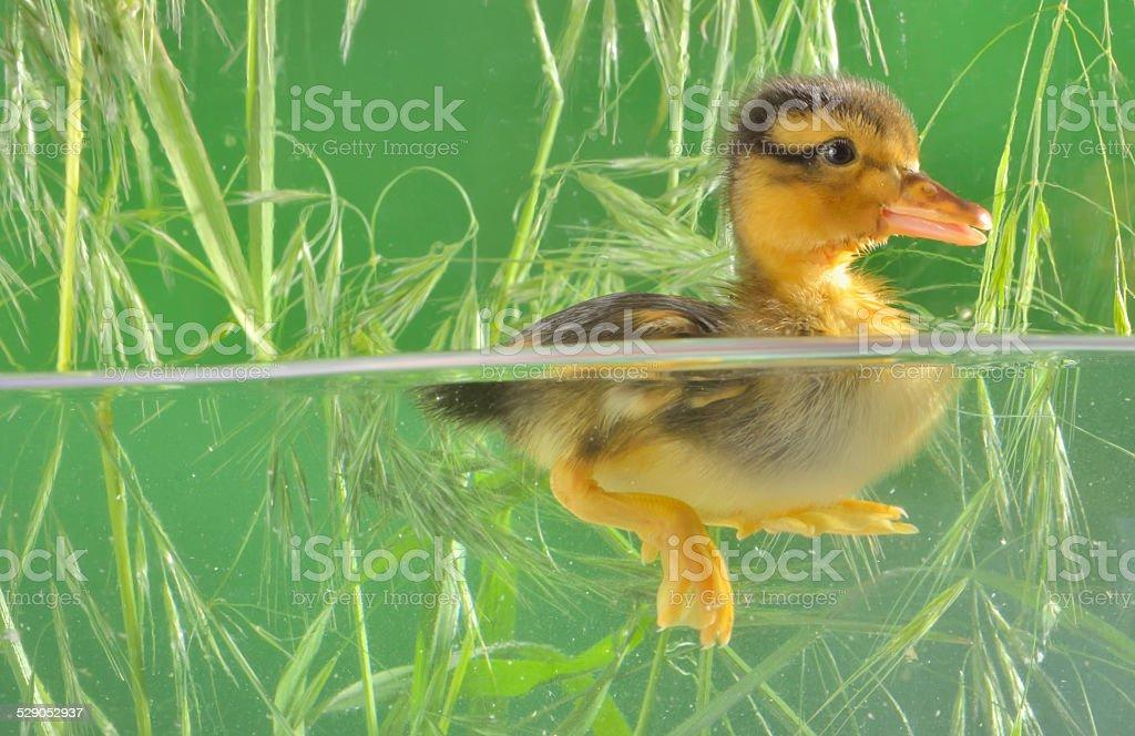 duckling swimming in aquarium stock photo