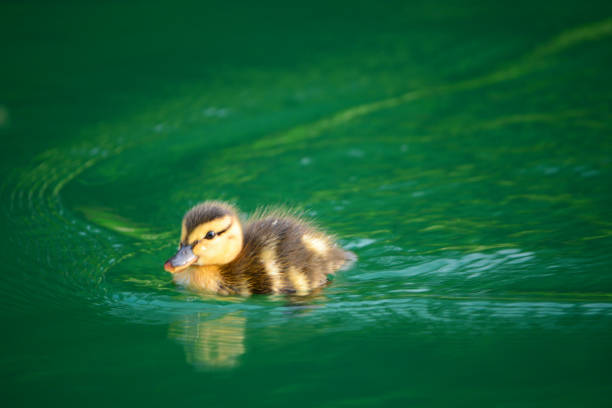 Duckling Swimming on a Pond stock photo