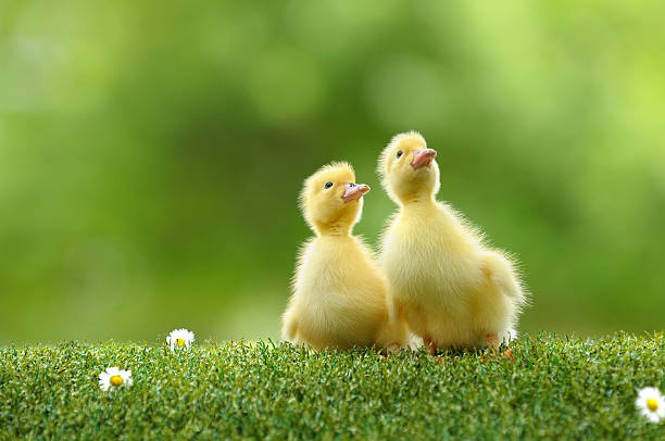 duckling two stock photo