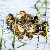 Ducklings flock in water