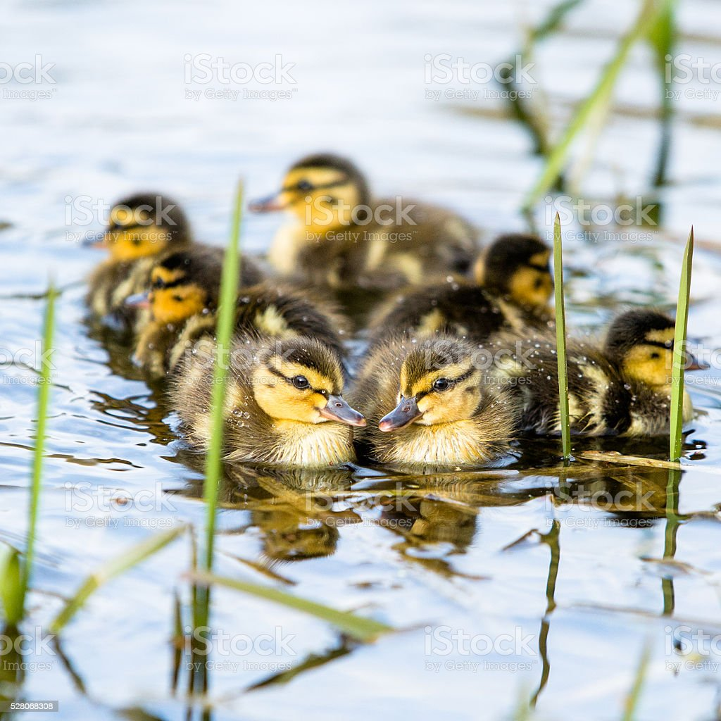 Ducklings flock in water stock photo