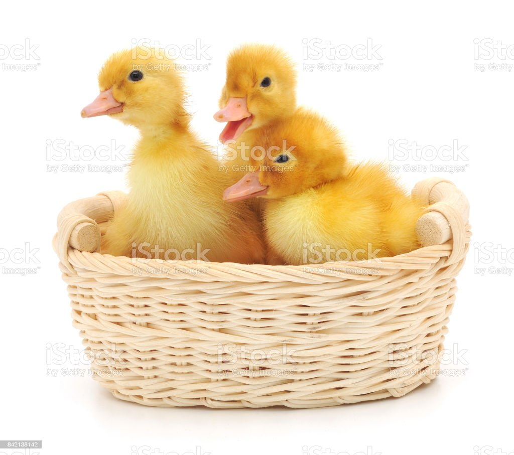 Ducklings in a basket. stock photo