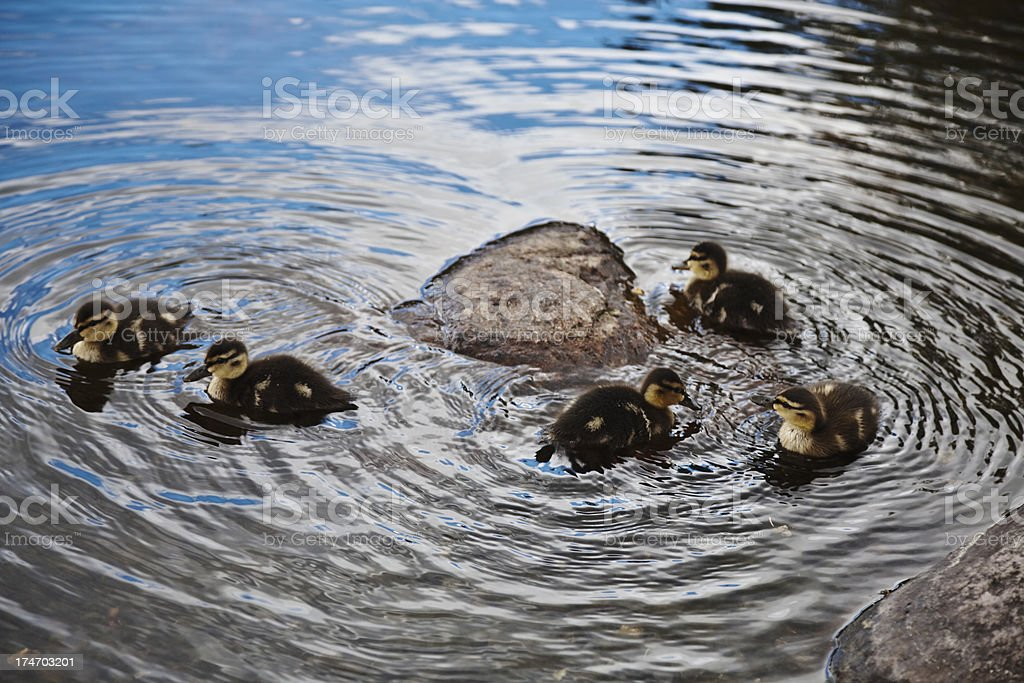 Ducklings  in the water. royalty-free stock photo