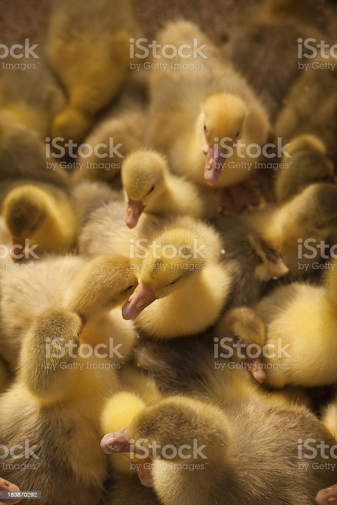 Ducklings sharing eachothers warmth stock photo