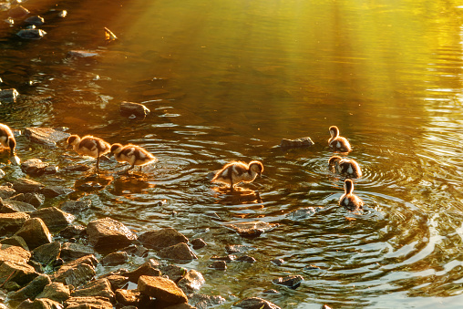 Ducklings swim in a mountain stream at sunset, the sun illuminates their feathers, water and stones, close-up