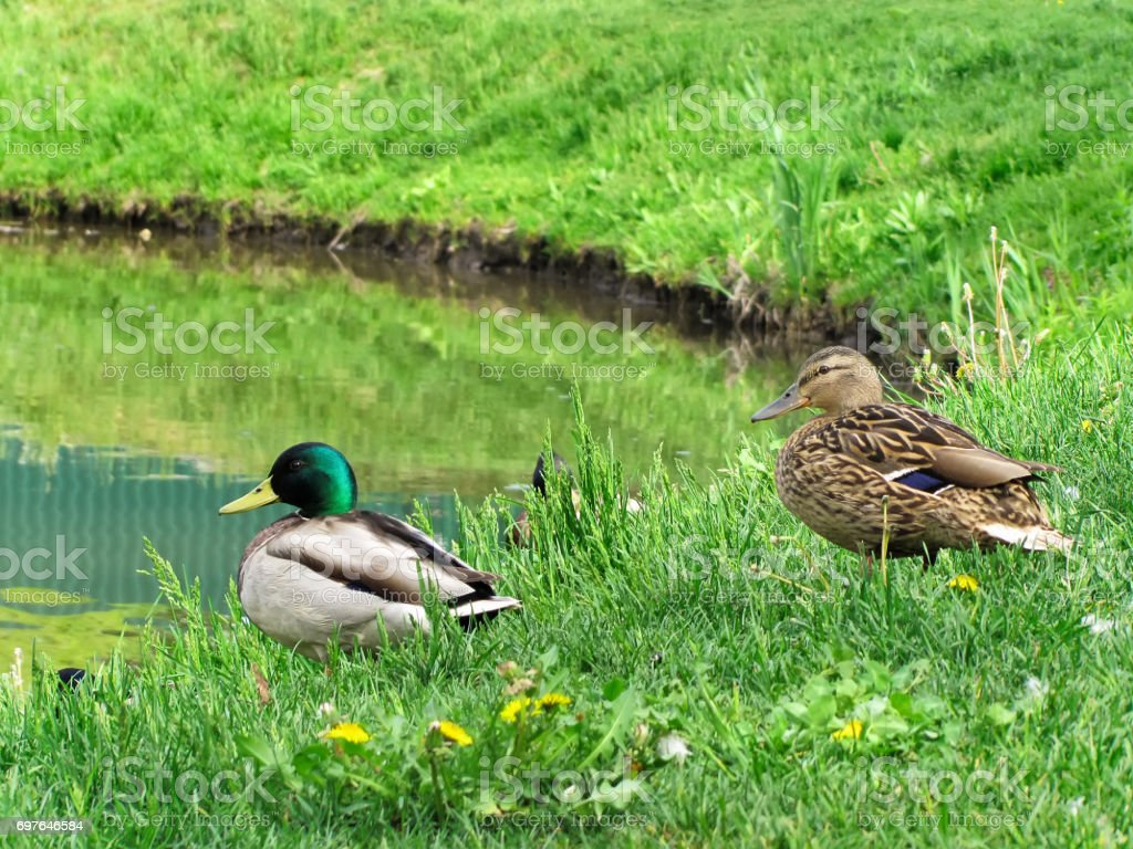 Duck-mallards on  the shore of the pond stock photo