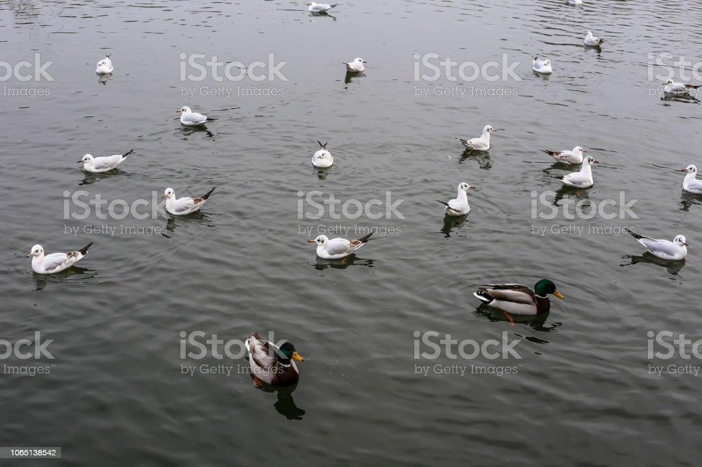 patos e aves em um lago - foto de acervo