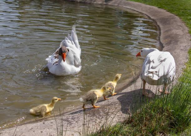 ördek ve ördek yavrusu - serpilguler stok fotoğraflar ve resimler