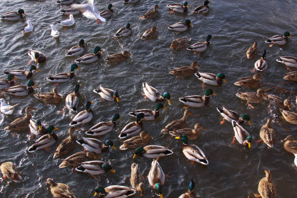 Ducks and little gulls eating in winter on river stock photo