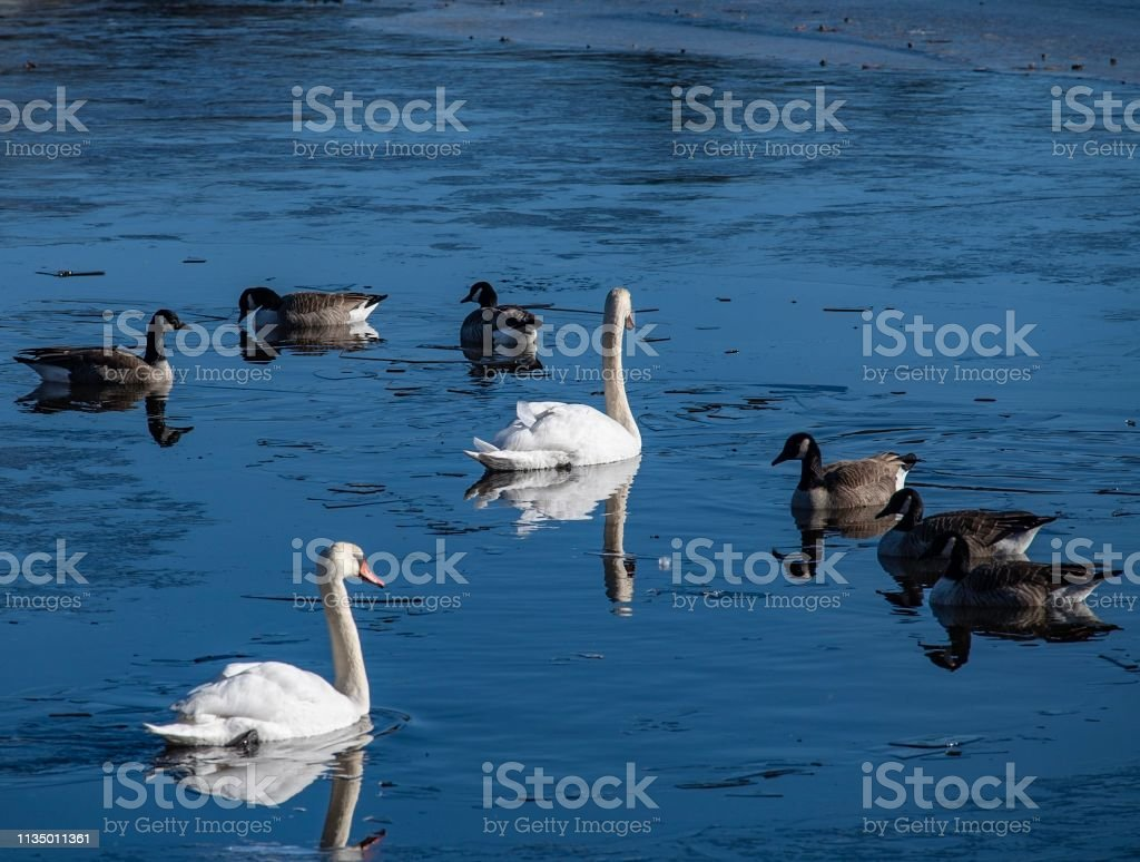 DSC1032D850 Ducks and swans on pond stock photo