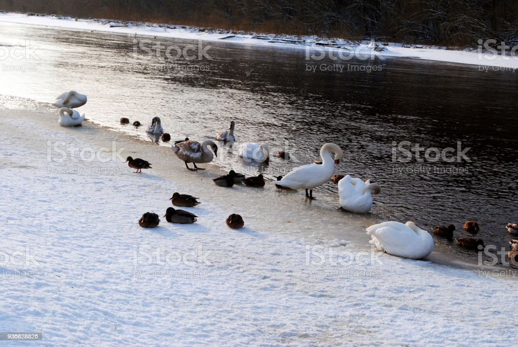 Ducks and swans suffers from cold stock photo