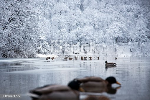 Ducks animals home Plitvice lakes of Croatia (Hrvatska) - national park in winter  forest trees nature postcard waterfall
