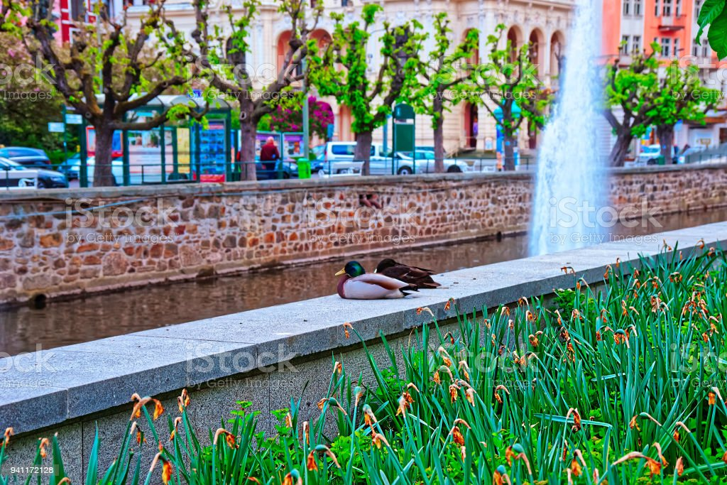 Ducks at Fountain in Tepla River Karlovy Vary stock photo